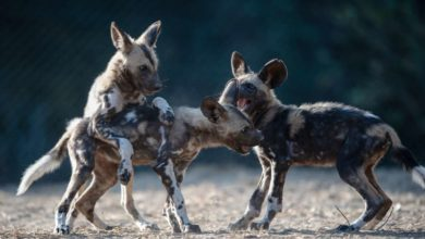 Photo of Painted dogs released into Mana Pools National Park